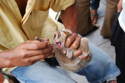 Un vendedor del mercado de Pramuka, en Yakarta, taja los dientes de un loris con un cortauñas. INTERNATIONAL ANIMAL RESCUE