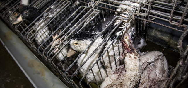 Destapan las condiciones insalubres de la granja de foie gras que vende a Mercadona, Eroski o Alcampo 1353509076779FOIEGRAS